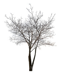 isolated dark bare maple tree