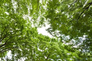 太陽光と新緑のケヤキ林