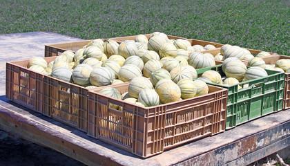Chargement de melons