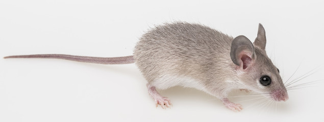 a little mouse on a white background