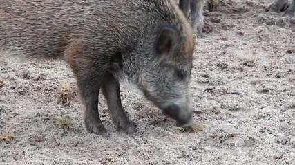 Wildschwein sucht nach Nahrung