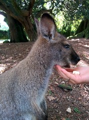 kangaroo eating food