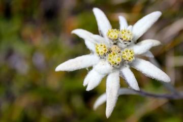 Edelweiss in der Natur