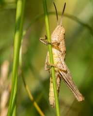 Light grasshopper on blade of grass