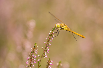 Moustached Darter on heather in bloom (Sympetrum vulgatum)