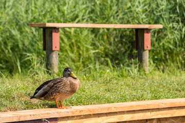 Solitary duck by bench