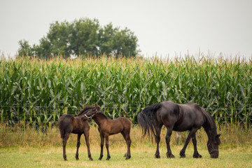 Two young and one adult brown horse