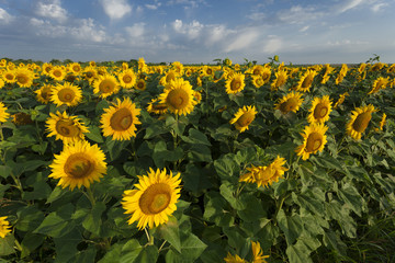 field of blooming sunflowers on a sunny day