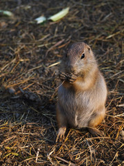 Prairie dog eating straw