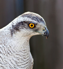 adult Hawk goshawk