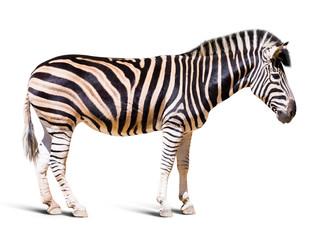 full length of zebra