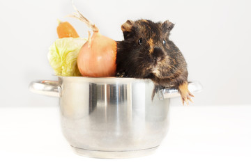 Guinea pig in kitchen pot