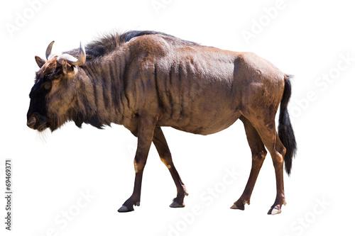 Plexiglas Antilope Blue wildebeest