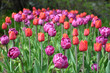 canvas print picture - Closeup view of blooming tulips