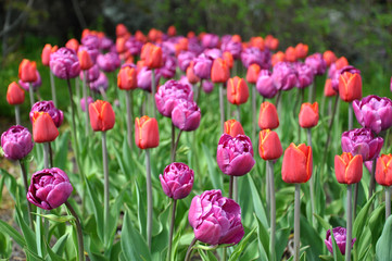 Closeup view of blooming tulips