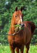 portrait of chestnut arabian horse