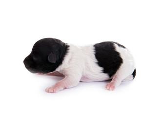 Neugeborenes Hundebaby – 2 Tage alt