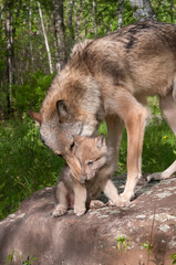 Grey Wolf (Canis lupus) Works to Pick Up Pup