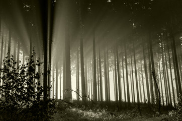 Sun beams in a misty spruce forest