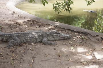 Crocodiles at a zoo