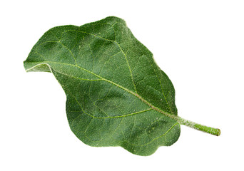 Eggplant leaf on white