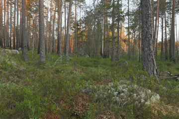 Forest scene, burn pine forest, Sweden