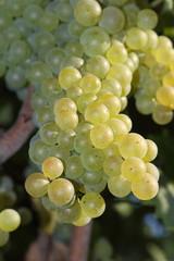 Trebbiano White grapes