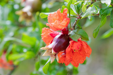 Small pomegranate with red flowers