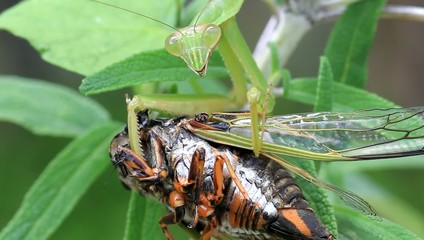 Narrow-winged Mantis (Tenodera angustipennis) eating cicada