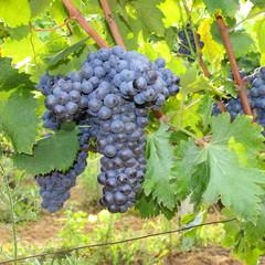 Ciliegiolo - Black grapes