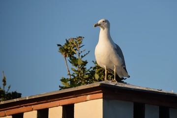 gabbiano sul tetto