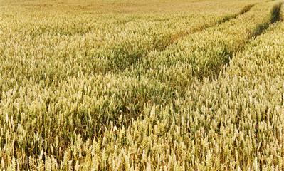 Ripe wheat growing on a field.