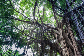 Branch of a banyan tree