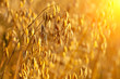 Oats field at sunset - 69481130
