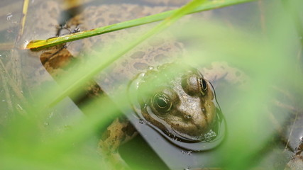 Frog on the water of algae and grass