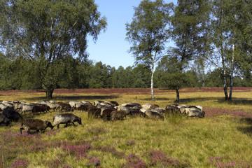 Heidschnucken in der Lünenburger Heide
