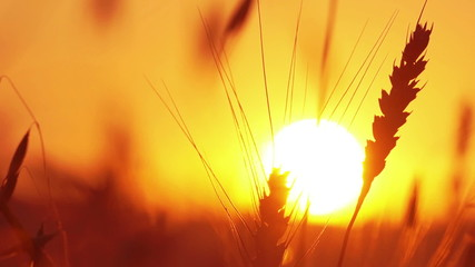 Silhouette of wheat on a sunset background