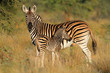 Plains zebra with foal