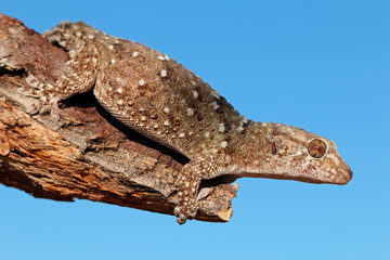 Bibron gecko against a blue sky