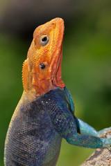Rainbow agama, Amboseli National Park