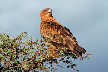 Tawny eagle perched on a tree, Kalahari desert