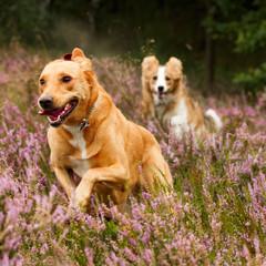 Hundelauf in Heide