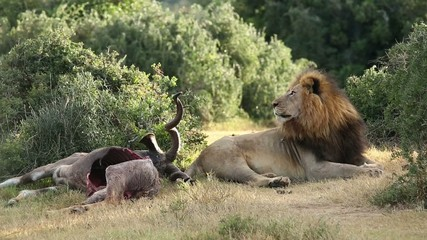 Big male African lion at carcass of a kudu antelope