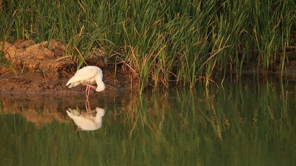 African spoonbill standing in shallow water