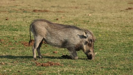 A warthog feeding on green grass