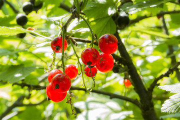 Red Currant and Leaves