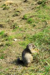 Marmottina, cucciolo di marmotta, mangia seduta sul prato