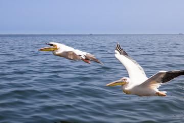 Großer weißer Pelikan im Flug