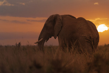 African Forest Elephant at sunset
