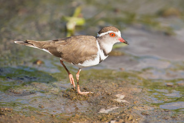 Three banded plover walking in muddy shallow water bright sunlig
